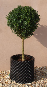 Bellamont Topiary - Standards